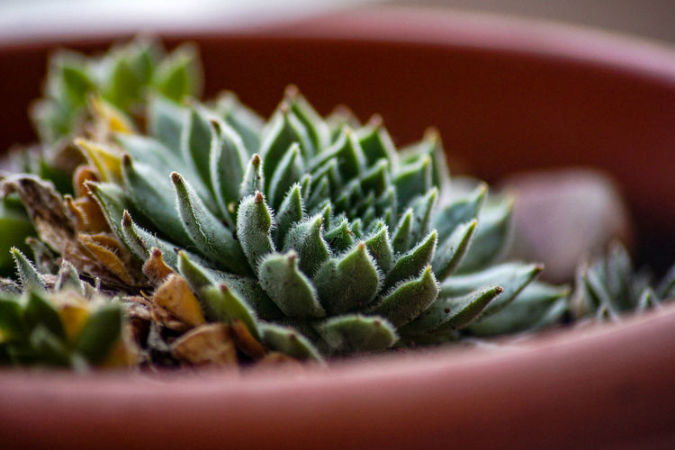 Close-Up Of Succulent Potted Plant