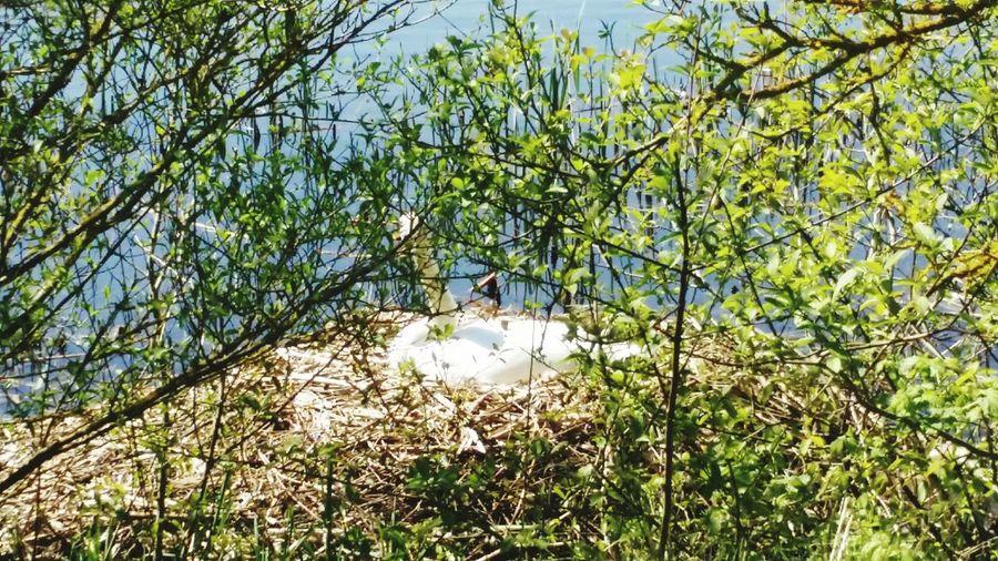 Swan in her nest Swans Nesting Beautiful