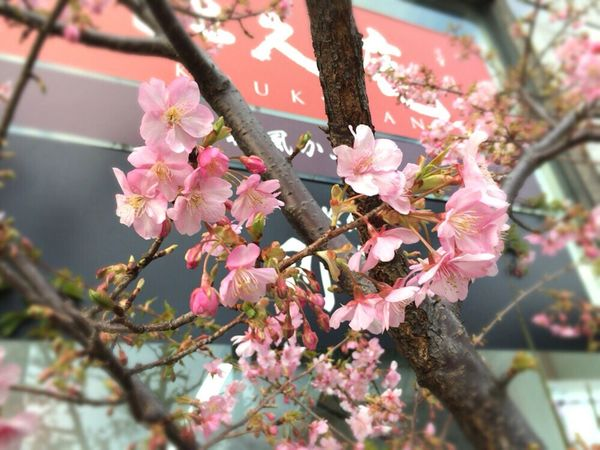 Pink Color Kyoto, Japan Kyoto Spling Flower Sakura 2017 Kyoto Cherry Blossom Cherry Blossom Cherry Blossoms Kyoto,japan Kyoto Spling Kyoto Sakura Kyoto Sakura 2017 February Cherry Blossoms February Sakura Kyoto City