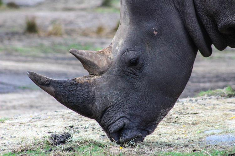 Animal Themes Animal Wildlife Animals In The Wild Day Focus On Foreground Mammal One Animal Rhinoceros