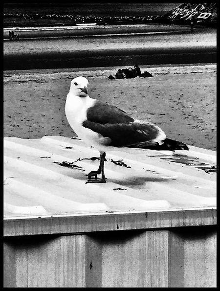 Bird Seagull Seaside Ostend Animal Wildlife Close-up Nature