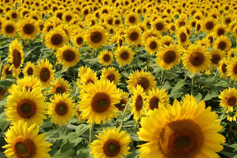 Sunflower Field Sunflowers Sunflower Photography Newbury, Massachusetts Paint The Town Yellow
