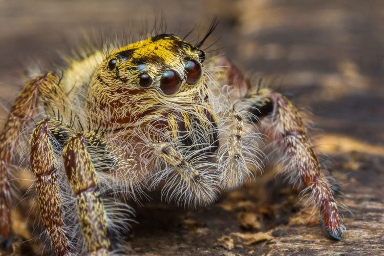 jumping spider in nature Jumping Spider Hyllus Sp Cute Animal Small Macro Closeup Nature Dangerous Creepy Jump Jungle Phobia Fauna Scary Insect Outdoor Colorful Hairy  Beautiful Beauty Attractive EyeEm Best Shots Arachnid