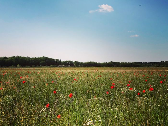 Wild Flowers Hello World Beauty In Nature Mood My Day Landscape Flower Flower Beauty In Nature Landscape Land Field Sky Nature Day Red #FREIHEITBERLIN The Great Outdoors - 2018 EyeEm Awards Poppy Red The Traveler - 2018 EyeEm Awards