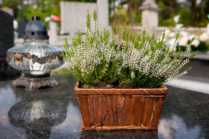 White flowering Calluna Vulgaris on grave, ling plants in wooden decorative flowerpot and votive candle standing on slab of gravestone in Poland, sunny autumn day. Flowers as symbol of memory. Blooming Blossoms  Box Calluna Vulgaris Candle Catholic Cementary Cemetery Clump Decoration Erica Gracilis Flower Flowering Flowerpot Flowers Grave Gravestone Heath Heather Ling No People Slab Thombstone Tombstone Votive Candle