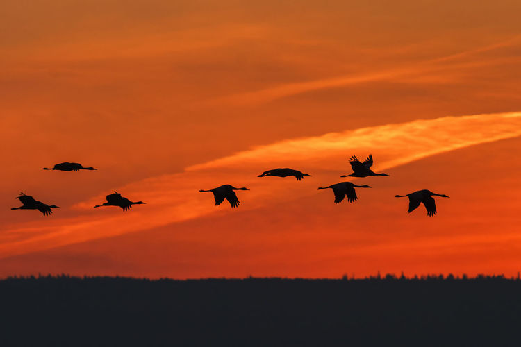 Flock of cranes flying in the sunrise