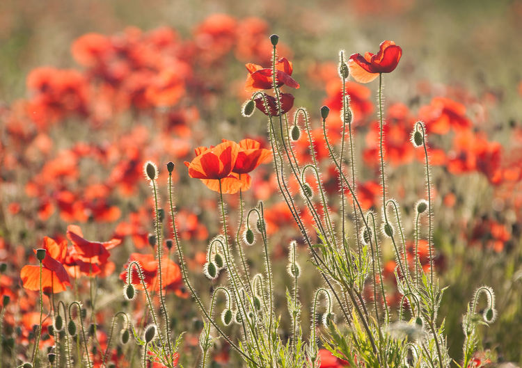 Poppies Flowering Plant Flower Plant Growth Fragility Vulnerability  Beauty In Nature Freshness Nature Close-up Selective Focus Petal Red No People Day Flower Head Focus On Foreground Poppy Field Land Outdoors