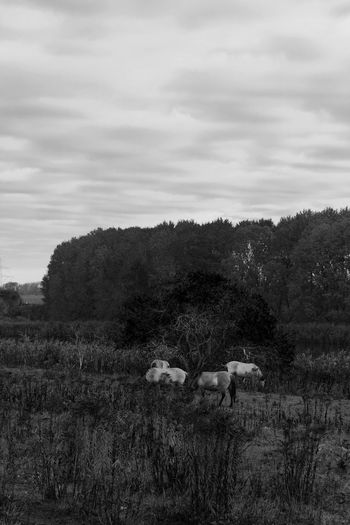 horses under the tree Animal Themes Plant Animal Domestic Animals Mammal Tree Field Domestic Group Of Animals Sky Cloud - Sky Land Landscape Environment Nature No People Grass Outdoors Grazing Blackandwhite Black And White Black & White Foreground And Background Sharp Dodge And Burn
