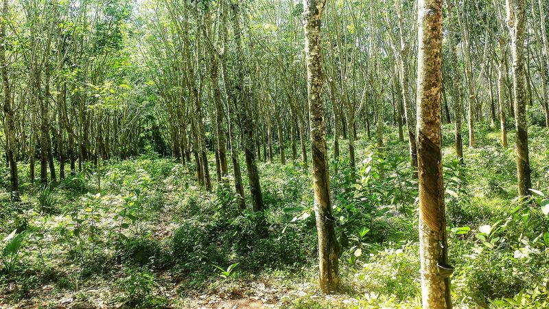 Shades Of Green  Rubber Tree Plantation Latex Outdoors ASIA Afternoon Dry Season Southeast Asia Rubber Koh Lanta Southern Thailand Krabi Province Spotted In Thailand Colour Of Life