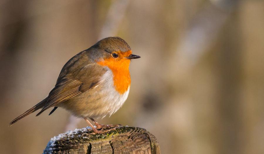 Robin perching