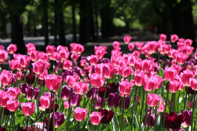 pink tulips in the garden Flowering Plant Flower Plant Beauty In Nature Growth Freshness Petal Pink Color Vulnerability  Fragility Nature Inflorescence Close-up Flower Head Focus On Foreground Park Day Park - Man Made Space No People Springtime Outdoors Flowerbed