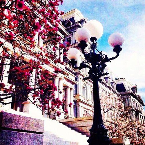цветы сакура ночной фонарь в дневном свету