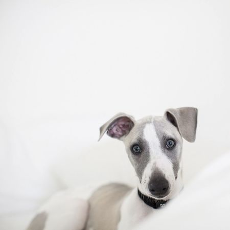 First we started looking at adopting Guinea Pigs, then we caught sight of this little cutie. Our new family member, lil miss Maloney. Whippet Puppy Hanging Out Dog Love