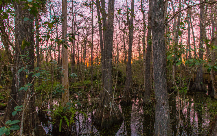 Big Cypress Swamp Beauty In Nature Big Cypress National Preserve Everglades  Forest Golden Hour Nature Outdoors Plant Scenics Tree Tree Trunk Water WoodLand