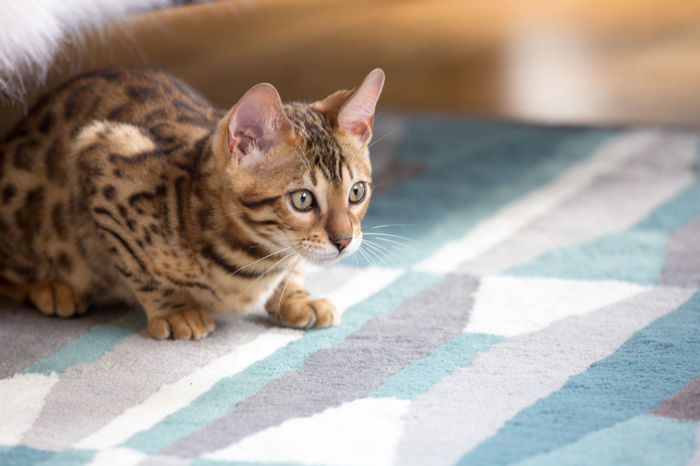 Animal Themes Bengal Bengal Cat Bengals Cat Cute Day Domestic Animals Domestic Cat Feline Kitten Mammal No People One Animal Outdoors Pets Spots Stripes Pattern Tabby Cat Tiger You