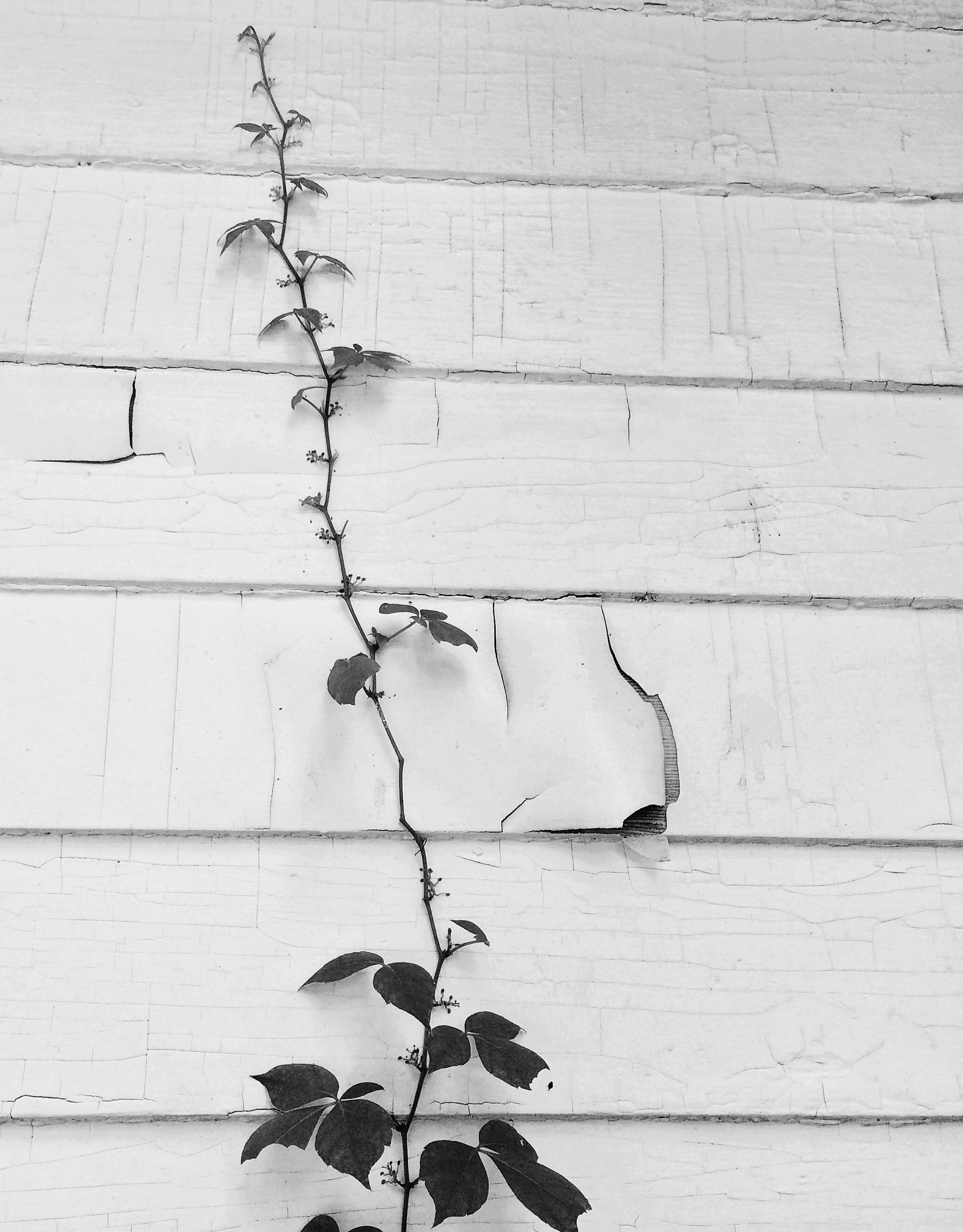 plant, wall - building feature, growth, leaf, close-up, built structure, nature, architecture, branch, building exterior, growing, ivy, wall, outdoors, day, no people, brick wall, textured, stem, weathered