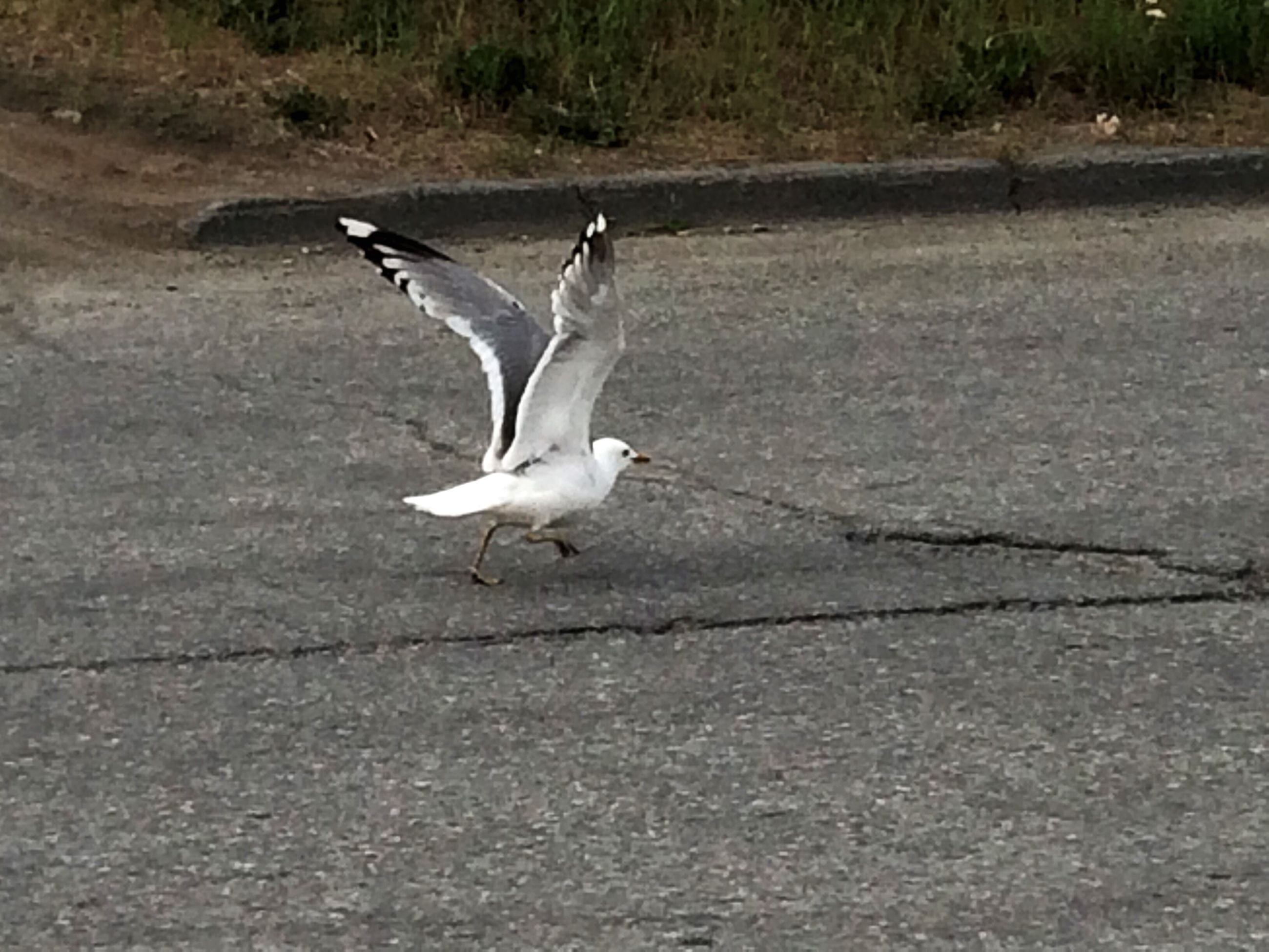 animal themes, bird, seagull, animals in the wild, one animal, wildlife, spread wings, flying, full length, white color, mid-air, side view, sunlight, nature, day, outdoors, motion, zoology, on the move, no people