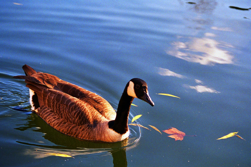 Animal Themes Animals In The Wild Bird Wildlife One Animal Water Lake Blue Close-up Water Bird Zoology Nature Beak Animal Behavior Flapping Focus On Foreground Animal Beauty In Nature Day Swimming