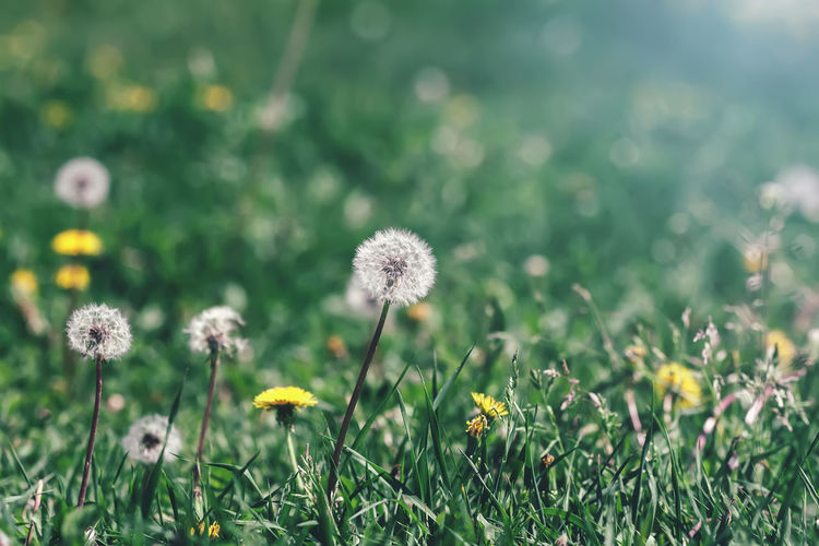 Yellow and white dandelions flowers in green grass, selective focus, spring natural meadow Flower Plant Flowering Plant Freshness Vulnerability  Close-up Dandelion Growth Beauty In Nature No People Nature Softness Outdoors Flower Head Field Land Grass Green Color Sunlight Seeds Grass Spring Meadow Pasture