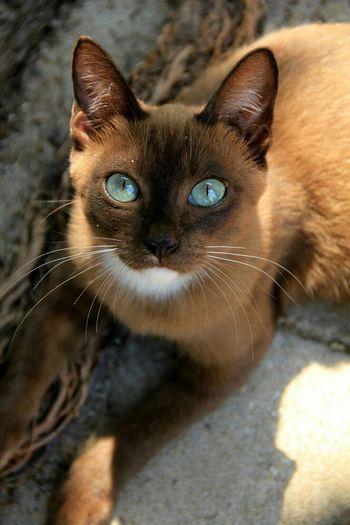 Meow Cat Beautiful Meow Eyes