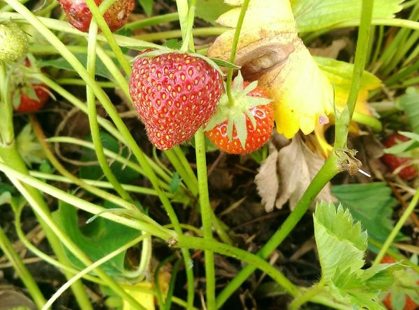 Fruits Strawberries Freshness Growth Seasonscollection Jummy Garden Photography Outdoors Nature Healty Food Sungrown Natural Vitamins Fruit Photography