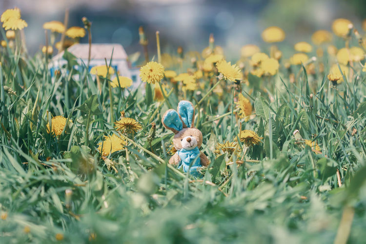 Miniature toy Easter bunny in flowering dandelions in the meadow Plant Field Flower Nature Growth Yellow Outdoors Flower Head Land Toy Grass Easter Celebration Miniature Bunny  Dandelion Meadow Spring Holiday Rabbit Celebration Grass Tradition