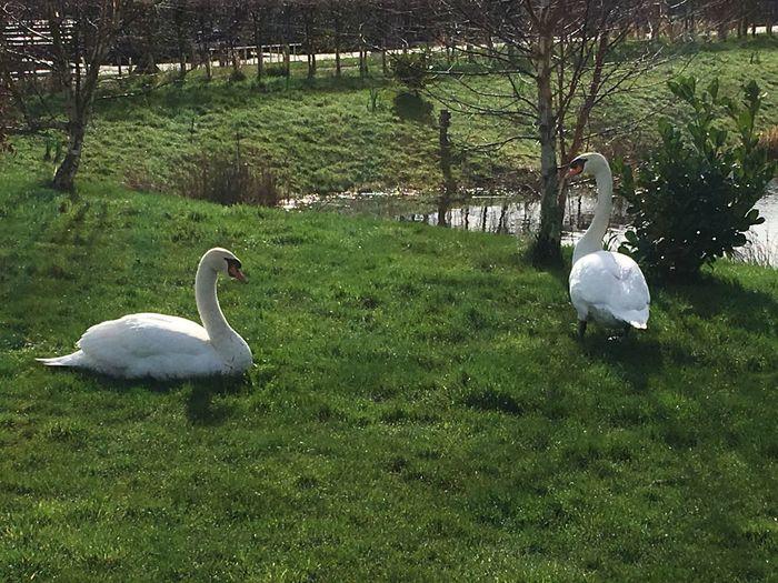 Swan on grass