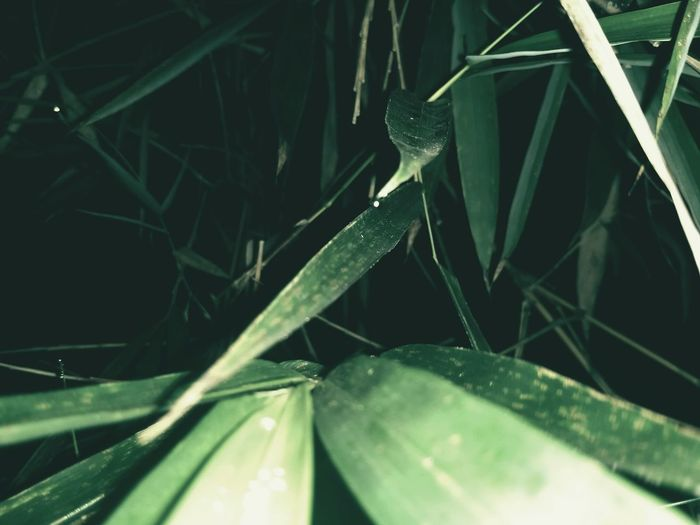 Bamboo Green Leaves Nightphotography Nature Photography