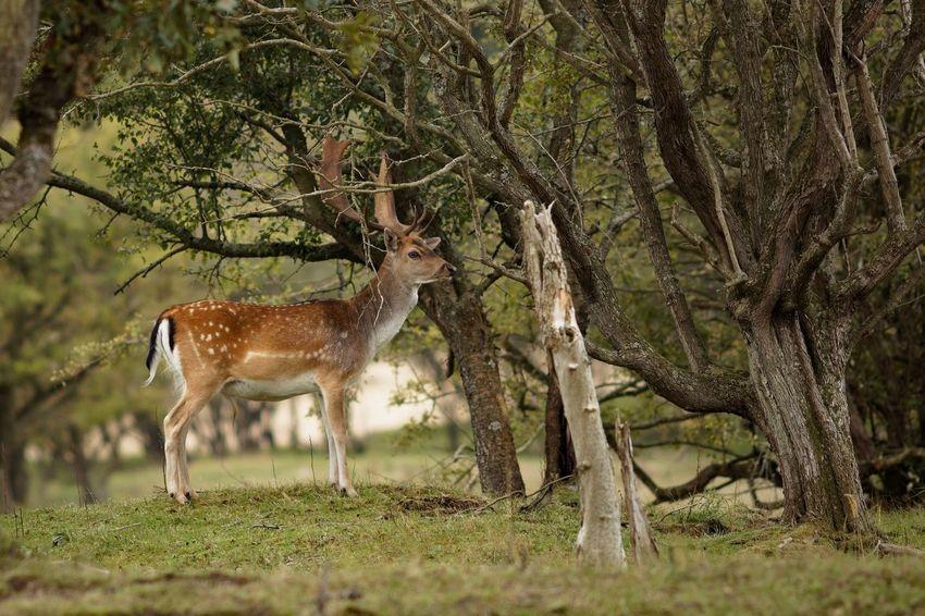 Buck Fallow Deer Dunes Of Holland Animal Animal Themes Animal Wildlife Animals In The Wild Mammal Tree Deer One Animal Nature Outdoors