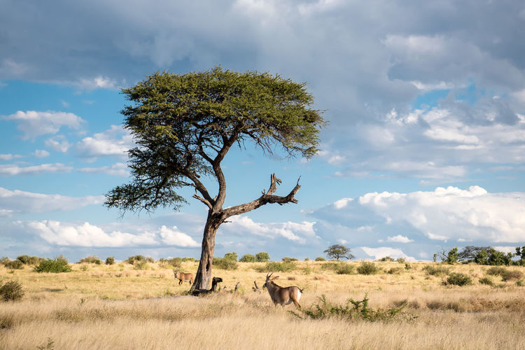 Savannah Acacia Tree Namibia Namibia Landscape Animal Animal Themes Animal Wildlife Animals In The Wild Beauty In Nature Cloud - Sky Environment Field Grass Land Landscape Mammal Nature No People Non-urban Scene Outdoors Plant Scenics - Nature Sky Tranquil Scene Tranquility Tree