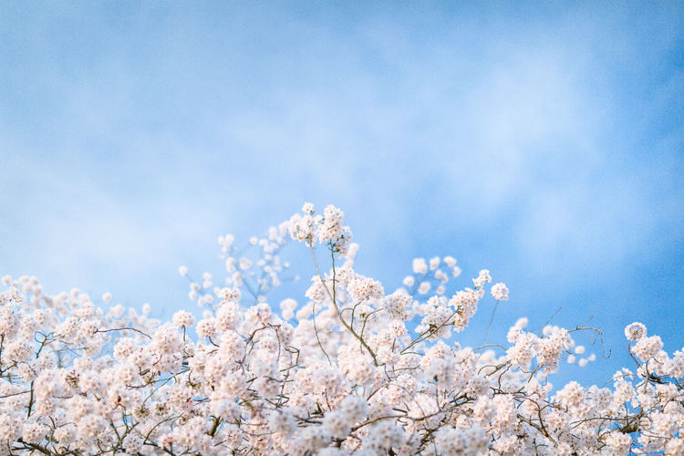 Beauty In Nature Blossom Branch Close-up Cloud - Sky Day Flower Flower Head Fragility Freshness Growth Low Angle View Nature No People Outdoors Plum Blossom Sakura Sky Springtime Tree Twig White Color