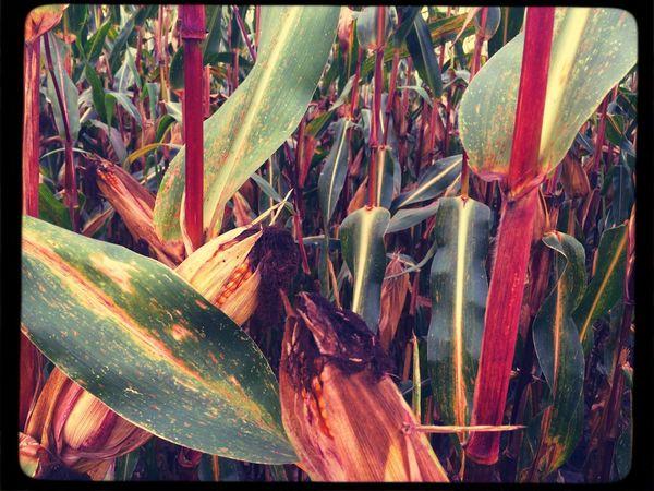 Corn Mais Tadaa Community
