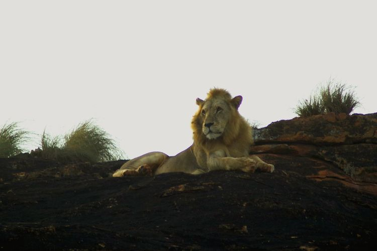 Lion in Kenia Tsavo East Animals In The Wild Animal Wildlife Lion - Feline One Animal Safari Animals Nature Lion Lion King  Lion Rock Lions Rock