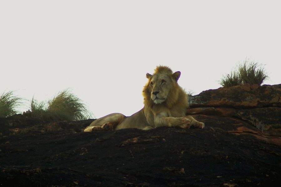 Lion in Kenia Tsavo East Animals In The Wild Animal Wildlife Lion - Feline One Animal Safari Animals Nature Lion Lion King  Lion Rock Lions Rock