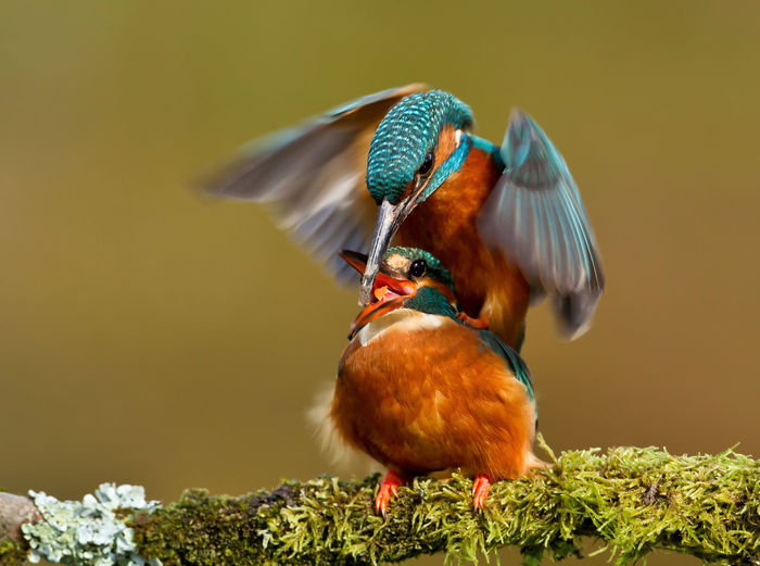Close-up of kingfishers perching on mossy branch