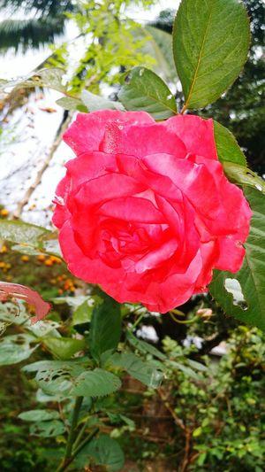 Rose Rose Flower Nature First Eyeem Photo