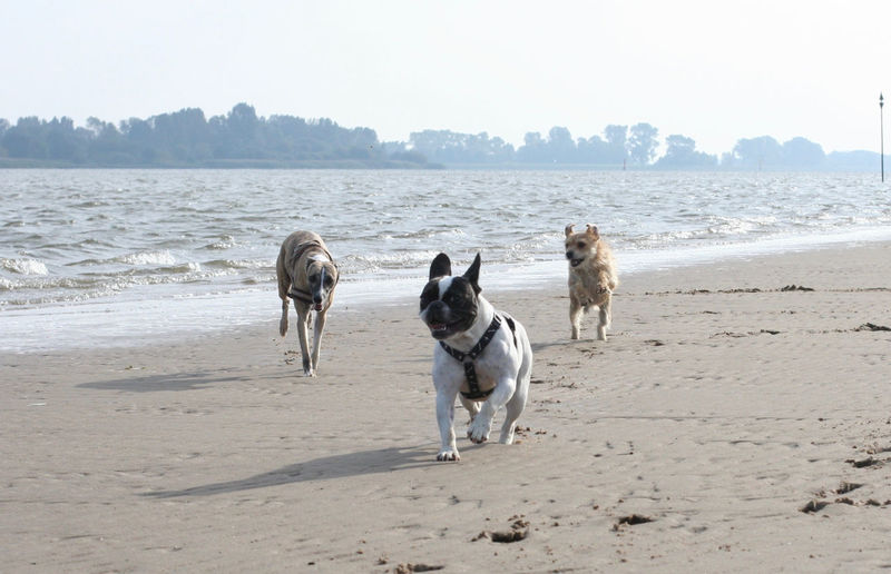 Animal Themes Beach Bully Dog Dogs Domestic Animals Draußen Französische Bulldogge  French Bulldog Frenchbulldog Frenchie Hund Hunde Nature Outdoors Pets Playing Dogs Sand Spielende Hunde Water