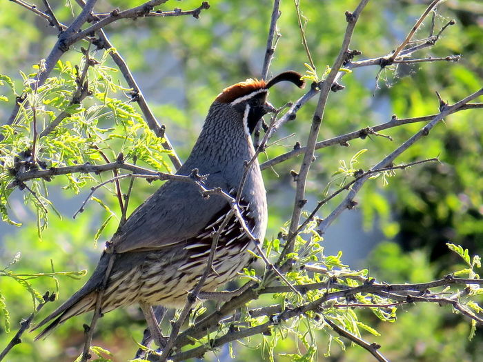 Gmbel's Quail. Found in the Southwestern USA. Birds Of EyeEm  Animal Wildlife Animals In The Wild Beauty In Nature Bird Birds Birds Of EyeEm  Birds_collection Birds_n_branches Branch Check This Out Day EyeEm Nature Lover Gambel's Quail Nature Nature Nature_collection One Animal Outdoors Perching Quail Quails Southwest  Taking Photos This Week On Eyeem