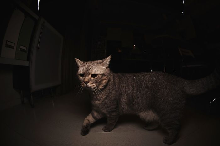 British shorthair Marsel Domestic Cat One Animal Pets Animal Themes Domestic Animals Mammal Indoors  Full Length No People Feline Close-up Day British Shorthair Kitty Cat Whisker