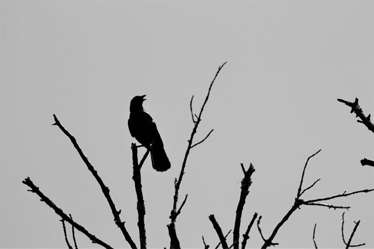 Animal Animal Themes Avian Bare Tree Beauty In Nature Bird Black Color Blackandwhite Branch Clear Sky Day Low Angle View Nature No People Outdoors Perched Perching Sky Tranquility Wildlife