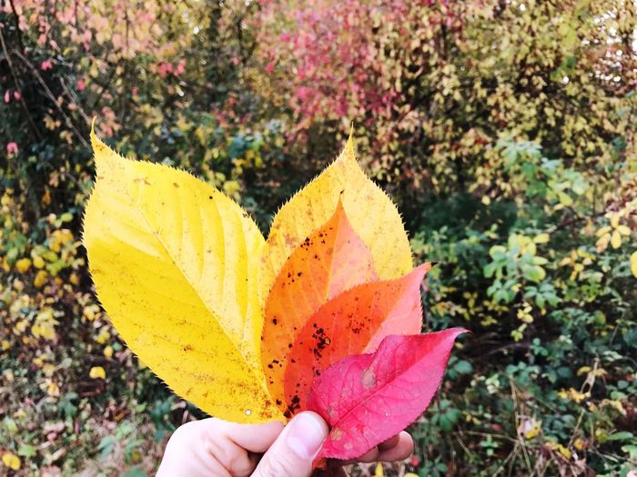 Leaves Autumn Leaves Colorful Human Hand Real People Holding One Person Close-up Day Human Body Part Outdoors People