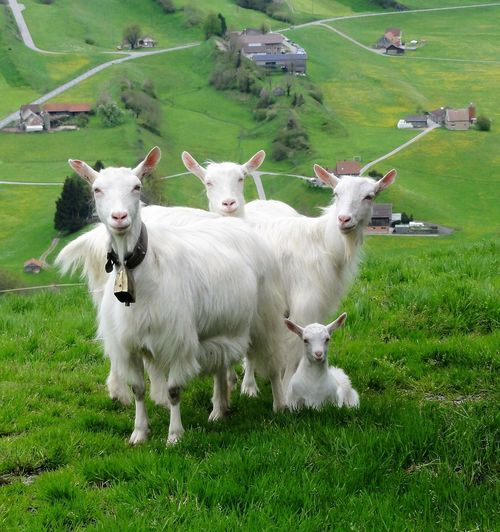 Goats in the fairy tale landscape of Appenzell, Switzerland. Agriculture Animals Appenzell Cheese Goats Grass Green Field Landscape Switzerland The Great Outdoors - 2017 EyeEm Awards