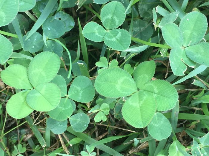 Four leaf clover Leaf Growth Plant Green Color Nature High Angle View Day Outdoors Field No People Freshness Beauty In Nature Fragility Close-up