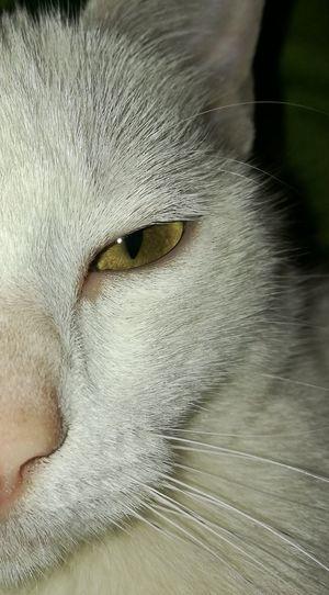 Animal Head  Animal Themes Feline Pets Cat Animal Eye Domestic Animals Close-up Thatlookinhereyes White Cat Pet Portraits