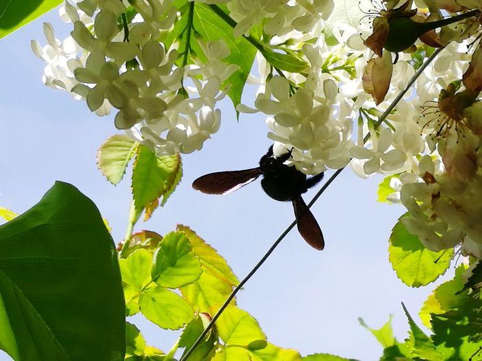 Abejorro Primavera Nature Naturaleza Lilas