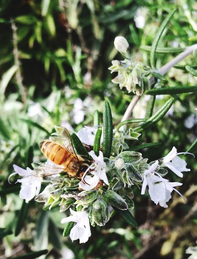 Bee in the Rosemary. Fair Oaks Sacramento Nature Homegrown Herbs Small And Swift