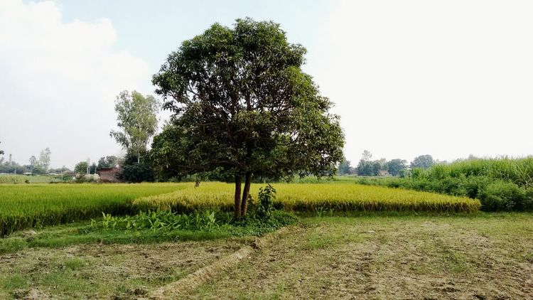 Mobilephotography India Indianvillage Tree Agriculture Field Nature Growth Outdoors Rural Scene Grass Beauty In Nature Sky Landscape Freshness