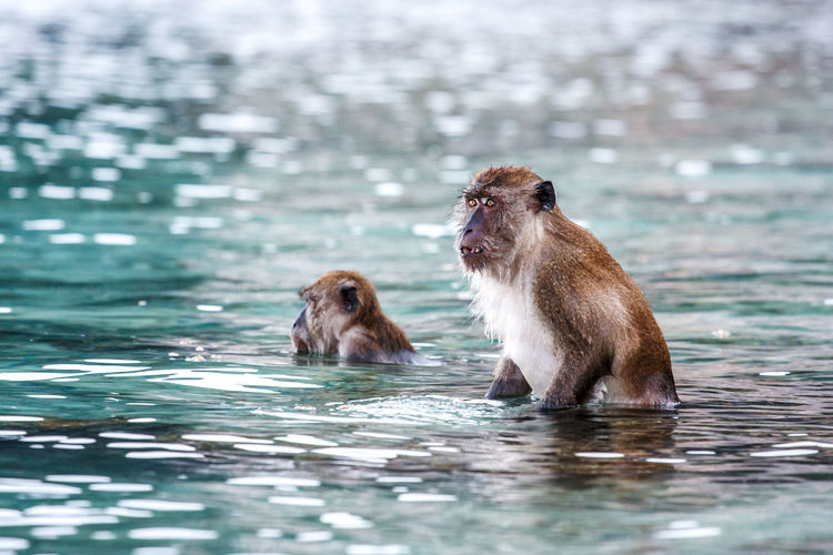 Monkeys Swimming In Lake