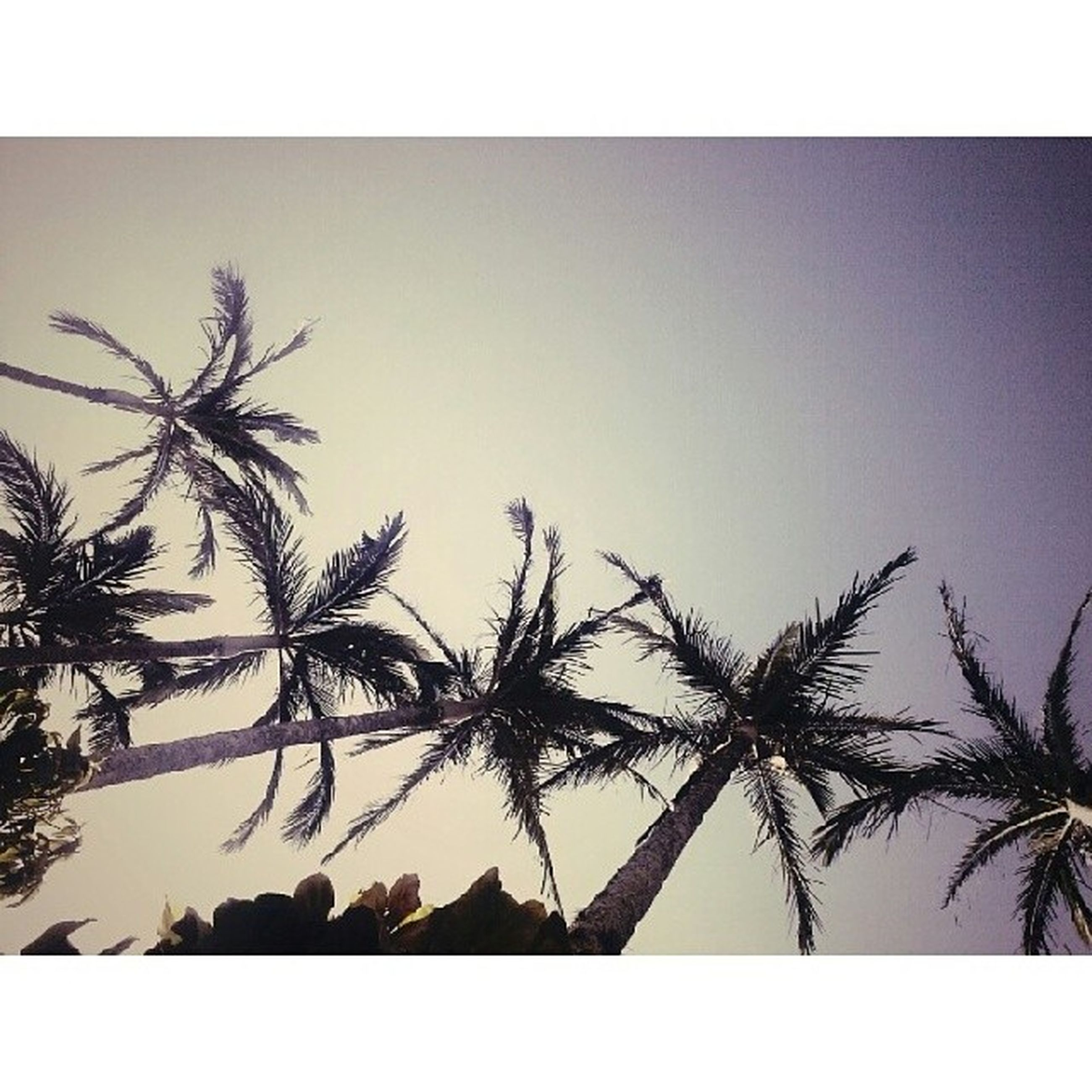 transfer print, auto post production filter, low angle view, clear sky, tree, branch, silhouette, copy space, sky, palm tree, nature, growth, outdoors, no people, day, beauty in nature, tranquility, high section, sunlight, bare tree