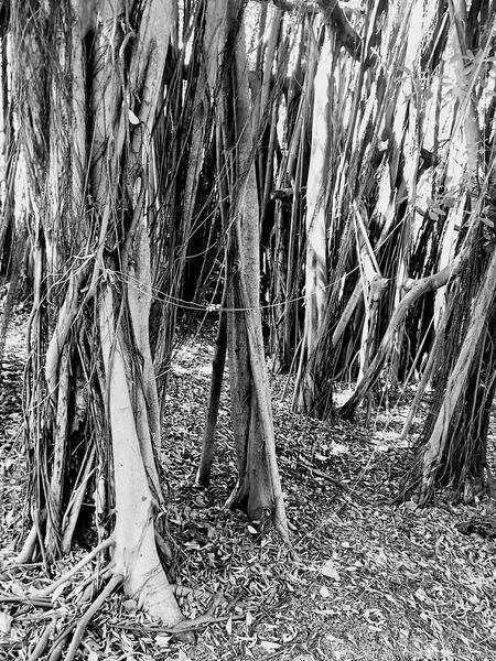 Tree Nature Tree_collection  Nature Photography Tree View Tree Photography Banyan Tree Banyan Root Of Banyan Tree Banyan Root Black And White Black And White Tree Black And White Photography